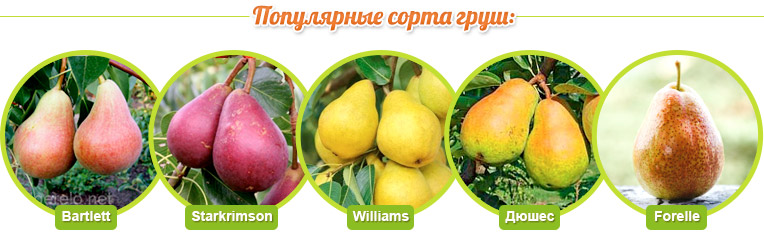 Сорта груш: Bartlett, Starkrimson, Williams, Дюшес, Forelle